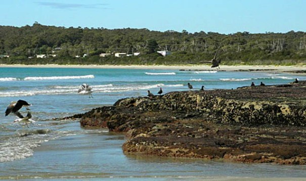 Photo: Arthur Orchard – bird life along rocks in Pirates Bay.