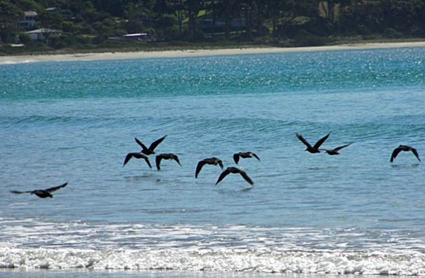 Photo: Arthur Orchard – Bird life along the beach in Pirates Bay.